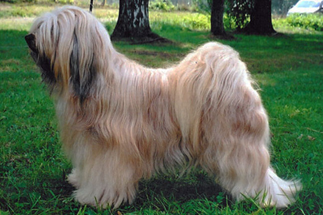 Breed Standard Picture for Tibetan Terriers