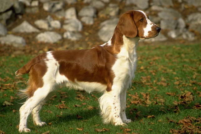 Picture of a Welsh Springer Spaniel