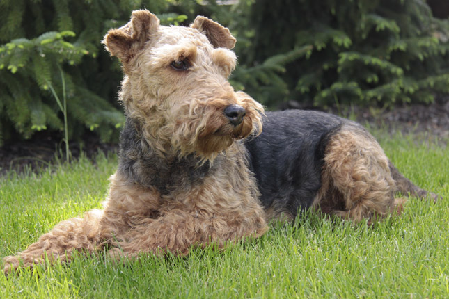 Picture of a Welsh Terrier