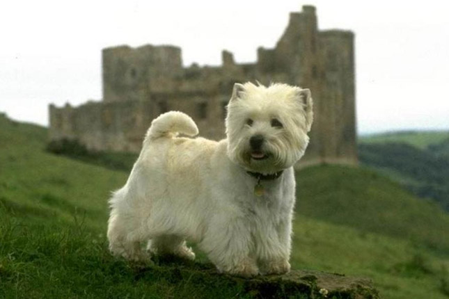Picture of a West Highland White Terrier - Westie