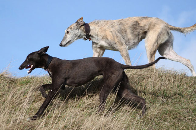 Picture of a Whippet