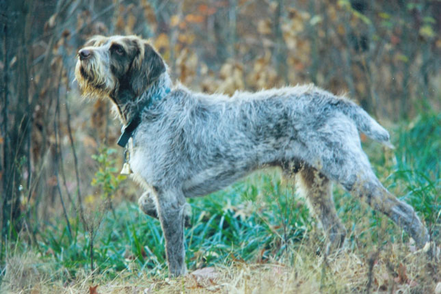 Breed Standard Picture for Wirehaired Pointing Griffons