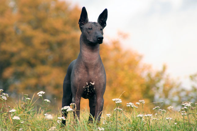 Picture of a Xoloitzcuintli