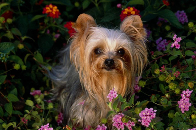 Breed Standard Picture for Yorkshire Terriers - Yorkies